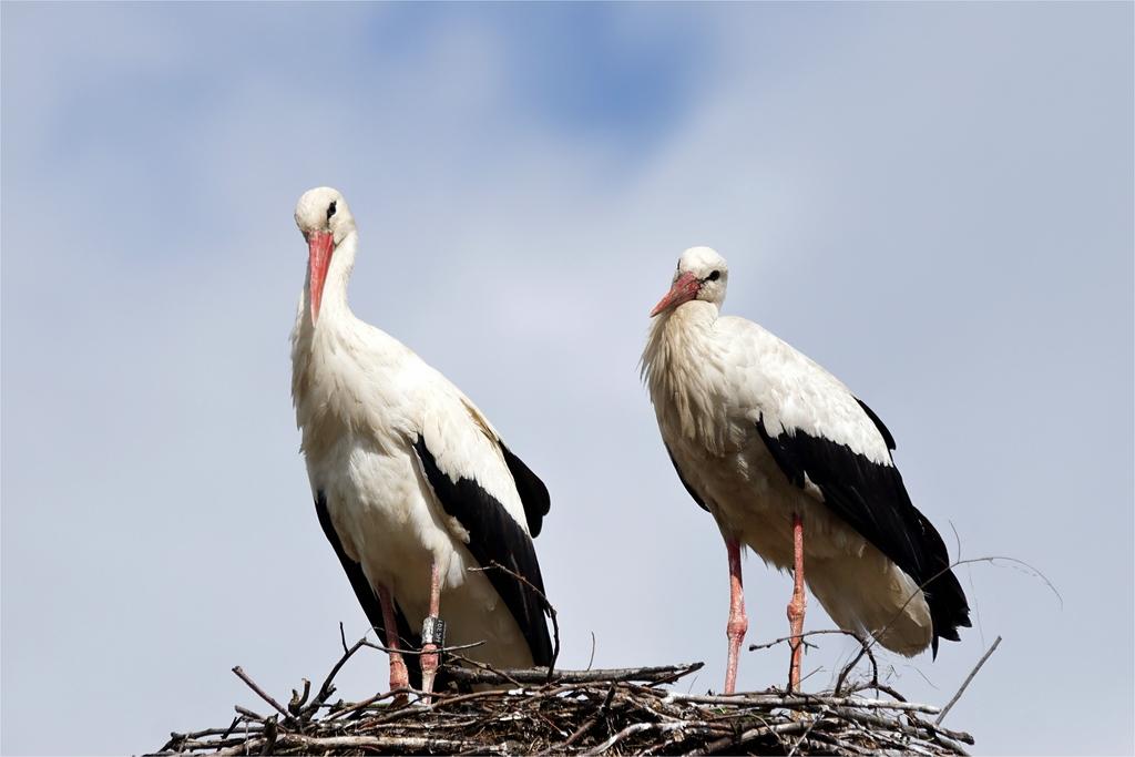 Das verliebte Paar ....Weißstorch (Ciconia ciconia)