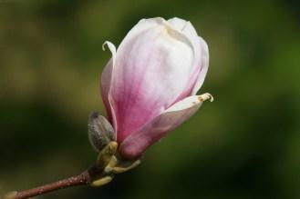 Magnolien (Magnolia)