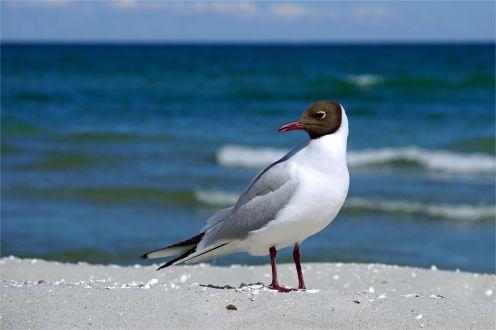 Am Strand, idyllischer Anblick Lachmöwe (Chroicocephalus ridibundus, Syn. Larus ridibundus)