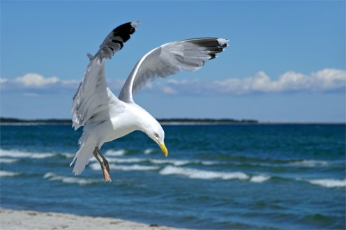 Landeanflug einer Silbermöwe