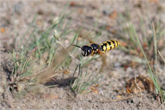 Fliegender Bienenwolf - Philanthus triangulum -