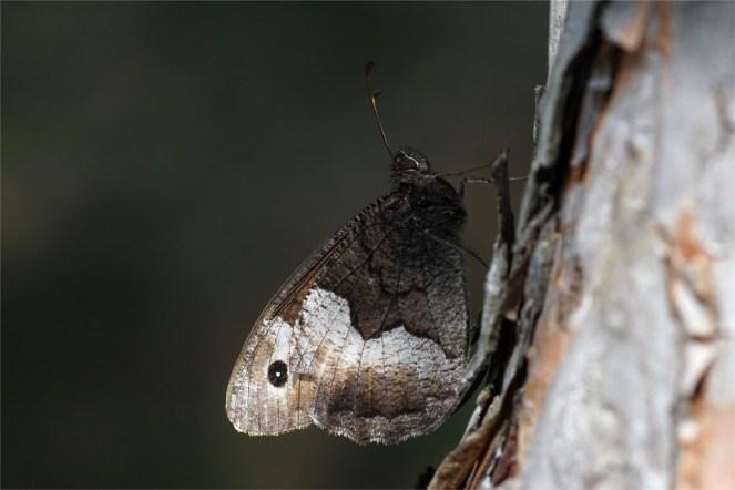 Gut getarnt am Baumstamm - Kleiner Waldportier
