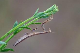Halbwüchsige Gottesanbeterin - Mantis religiosa-