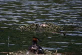 das verlassene Nest der Haubentaucher (Podiceps cristatus)