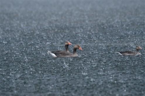 Gewitter mit Starkregen, Graugänse auf dem Wasser - (Anser anser)