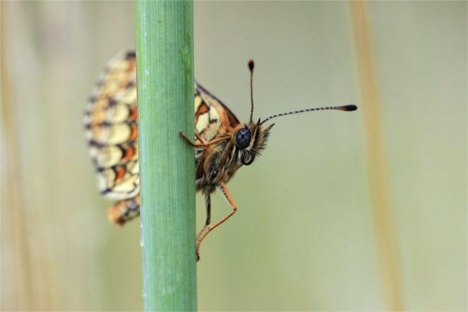 Wachtelweizen Scheckenfalter-r (Melitaea athalia), auch Gemeiner Scheckenfalter