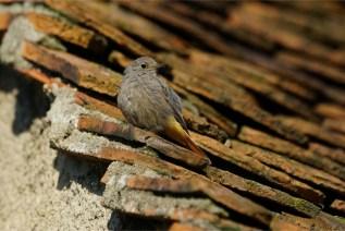 Auf dem Schindeldach - Junger Hausrotschwanz -