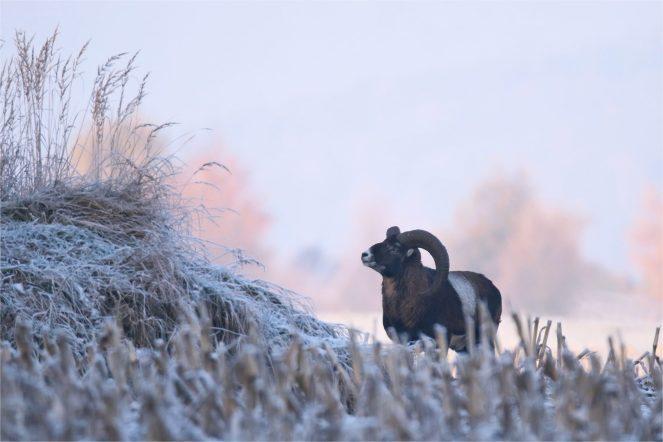 Mufflonwidder am Hang - Europäische Mufflon (Ovis gmelini musimon)