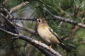 Wintergoldhähnchen auf dem Ast - Regulus regulus -