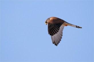Rüttelnder Turmfalke, Terzel , Falco tinnunculus