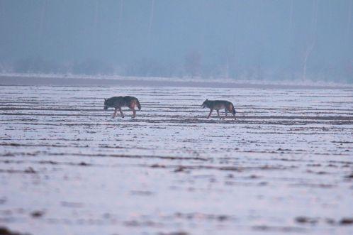 Wölfe auf den Weg in den Wald (Canis lupus)