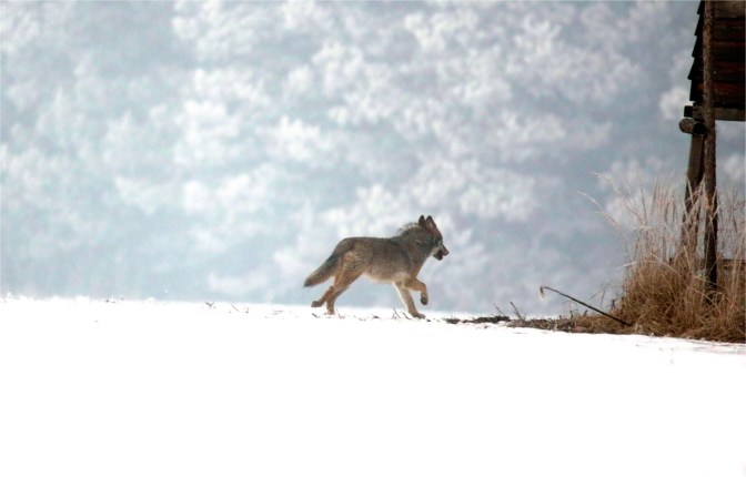 Wolf (Canis lupus) bestes Foto