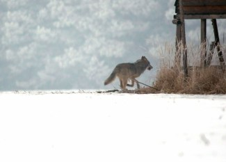 Wolf (Canis lupus) 8, fast im Wald