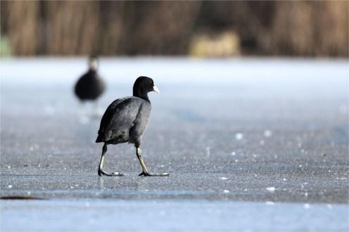 Blässhuhn (Fulica atra) auf dem Eis