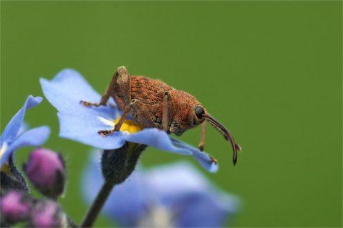 Eichenbohrer oder Haselnussbohrer auf Blüte