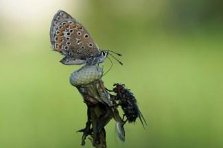 Tropfenduo - Hauhechelbläuling und Fliege am Morgen