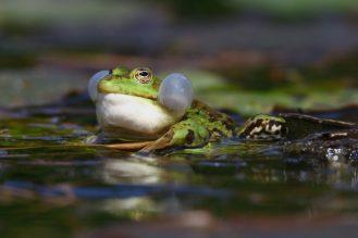 Schallblasen beim Teichfrosch -