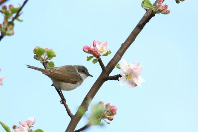 Kleiner Sänger im Apfelbaum