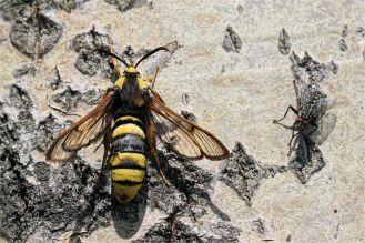 Hornissenglasflügler (Sesia apiformis) Schmetterling