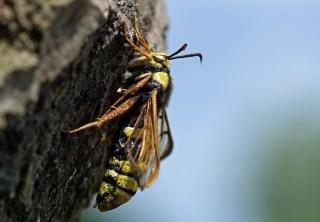 Eiablage!!!Hornissenglasflügler (Sesia apiformis) Schmetterling
