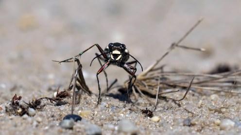 Dünen-Sandlaufkäfer oder Kupferbraune Sandlaufkäfer (Cicindela hybrida)