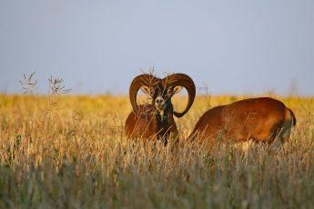 Nachlese auf dem Rapsfeld - Mufflon (Ovis gmelini-Gruppe)