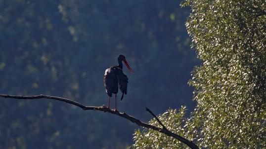 Selten! Schwarzstorch (Ciconia nigra)