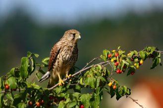 Turmfalke (Falco tinnunculus
