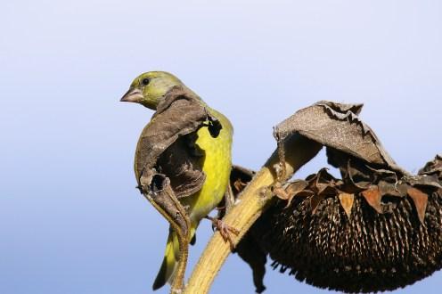 Grünfink bei der Futtersuche