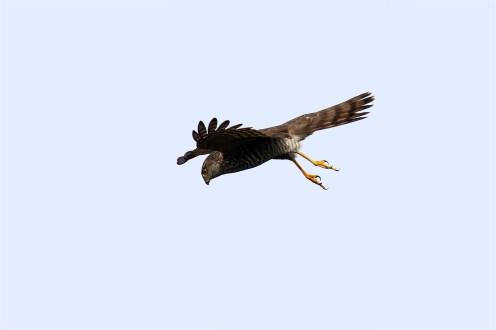 Sperber (Accipiter nisus) kurz vorm Sturzflug
