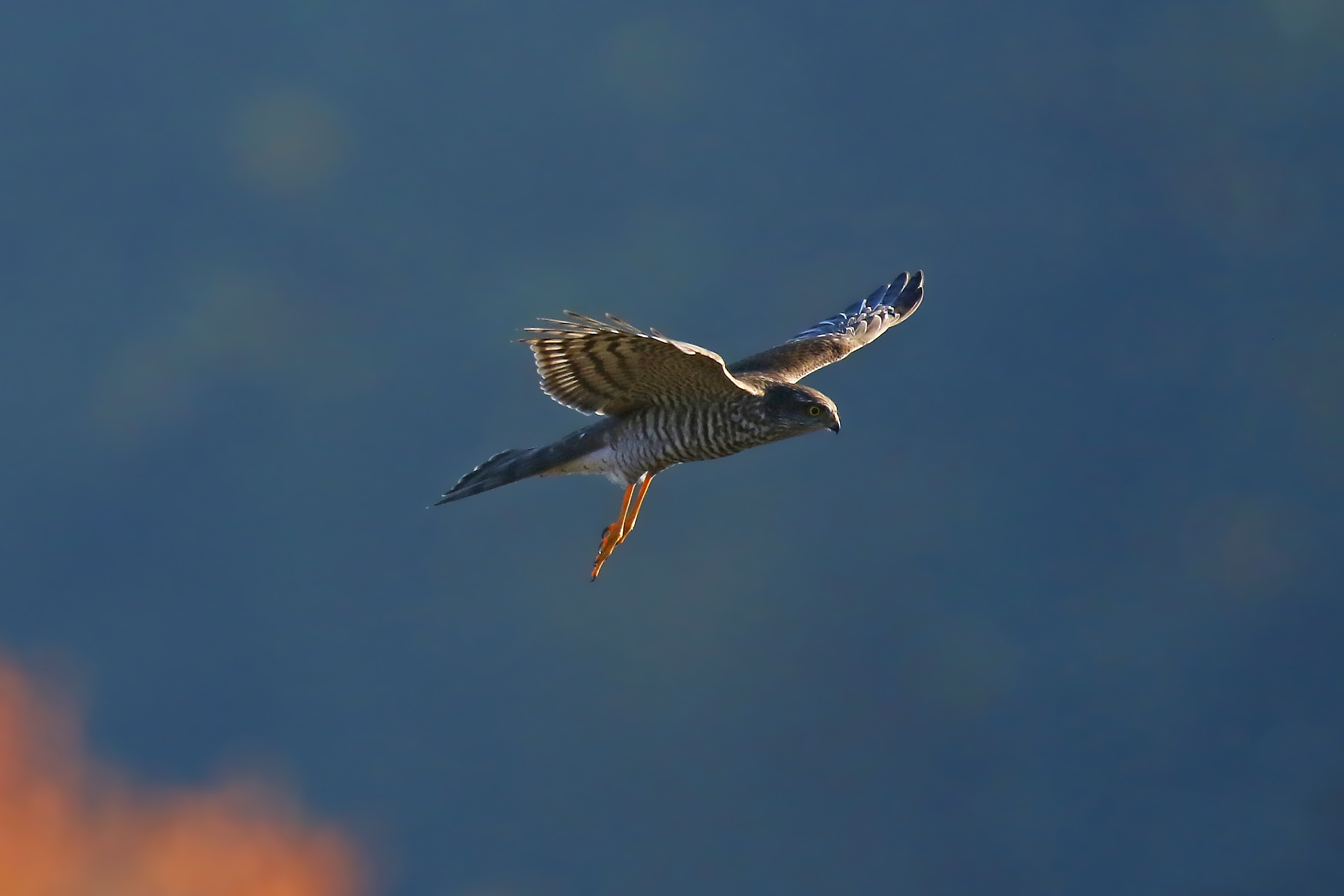 Sperber (Accipiter nisus) am Himmel