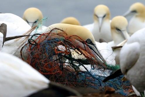 Gefährliche Netze - Basstölpel