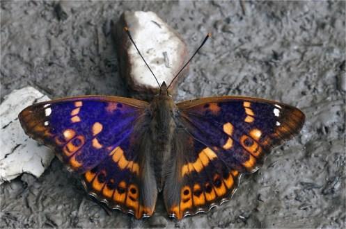Kleiner Schillerfalter - Apatura ilia, Rotschiller , Männchen