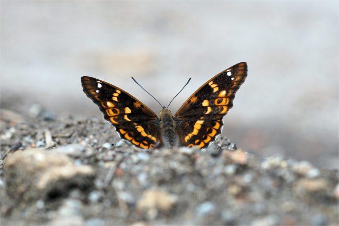 Apatura ilia f. clytie, Kleiner Schillerfalter, Rotschiller, evtl. Weibchen