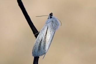Ried-Weißstriemeneule (Simyra albovenosa)