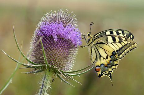 Schwalbenschwanz (Papilio machaon) an wilder Karde
