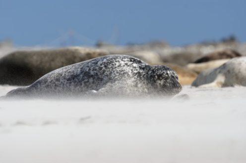 Im Sandsturm , Kegelrobbe (Halichoerus grypus)