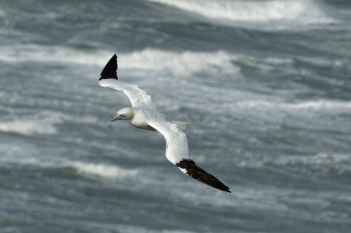 Stürmische Nordsee, Basstölpel (Morus bassanus)