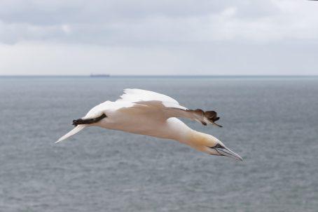 Schräg runter... Landeanflug vom Basstölpel (Morus bassanus)