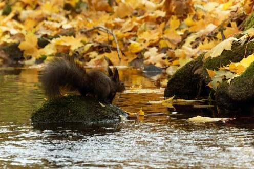 Eichhörnchen auf dem Stein im Bach