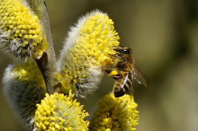 Fleißige Biene am Palmkätzchen
