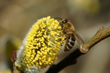 Biene am Palmkätzchen