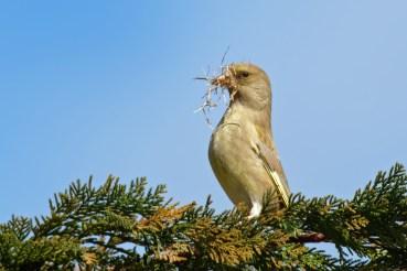 weiblicher Grünfink beim Nestbau, ( Chloris chloris)