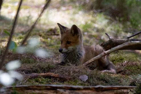 Junger Fuchs ( Vulpes vulpes) , wildlife, Niedersachsen