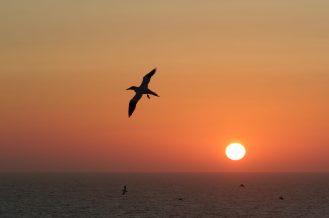 Basstölpel beim Sonneuntergang - (Morus bassanus