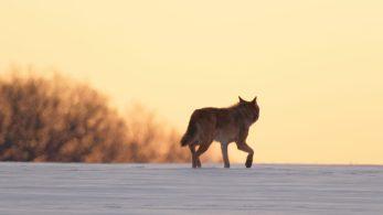Eine besondere Begegnung! wildlife, Oberlausitz, 15.02.2021
