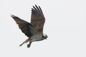 Fischadler(Pandion haliaetus), suchender Blick