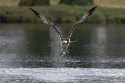 Fischadler (Pandion haliaetus), Gut aus dem Wasser heraus gekommen