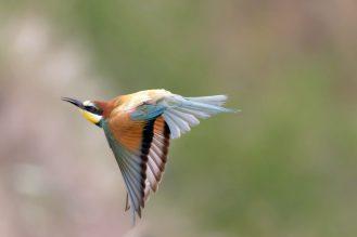 Fliegender Bienenfresser (Merops apiaster)