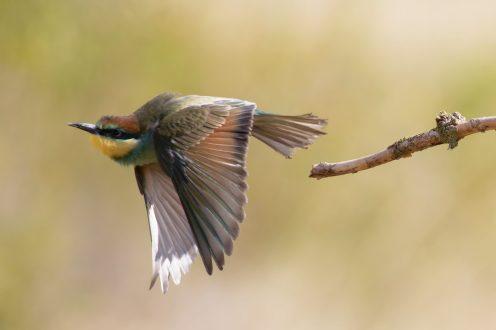 Abflug, junger Bienenfresser (Merops apiaster)